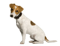 terrier russell профиля jack сидя Стоковое Изображение RF