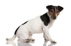 terrier russell профиля jack сидя Стоковые Изображения RF