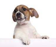 terrier russell щенка 2 месяцев jack старый Стоковые Фото