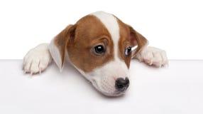 terrier russell щенка 2 месяцев jack старый Стоковое фото RF