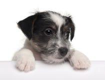 terrier russell щенка 2 месяцев jack старый Стоковые Изображения