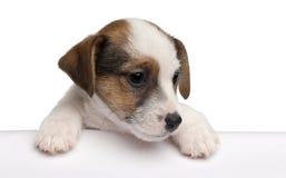 terrier russell щенка 2 месяцев jack старый Стоковое Изображение