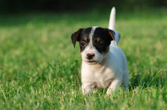 terrier russell щенка jack Стоковые Фото