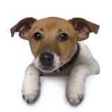 terrier russell 3 месяцев jack старый стоковое изображение rf