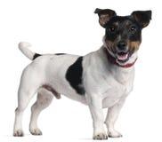 terrier russell jack стоящий Стоковое Фото