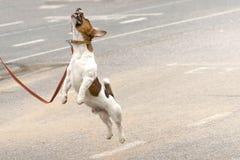 terrier russell jack Стоковое Изображение RF