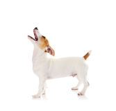 terrier russell jack стоковая фотография