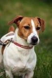 terrier russell jack Стоковая Фотография RF