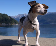 terrier russell jack Стоковые Изображения