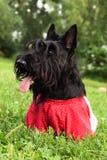 terrier scottish собаки Стоковое Изображение