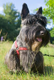 terrier scozzese fotografia stock libera da diritti