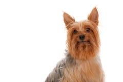 Terrier sedoso foto de archivo
