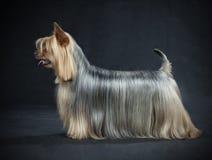 Terrier sedoso australiano imagenes de archivo