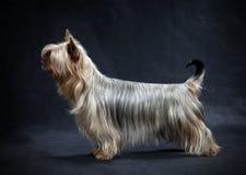 Terrier sedoso australiano imagen de archivo