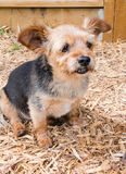Terrier - Shih Tzu Crossbreed Dog Stock Image