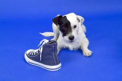 Terrier with shoe Royalty Free Stock Photos