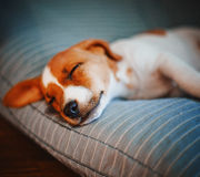 Terrier Stock Image