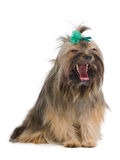 terrier som gäspar yorkshire Arkivbild