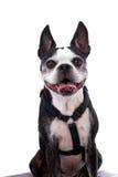Terrier sorridente di Boston su bianco Immagini Stock Libere da Diritti
