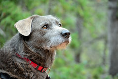 Terrier-Spürhund Stockbilder