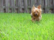 Terrier spring i gräsmatta Royaltyfri Fotografi