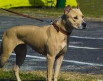 terrier staffordshire Американский терьер внешний po Стоковые Фотографии RF