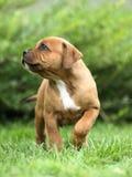 terrier staffordshire быка Стоковое Изображение