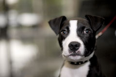 terrier staffordshire быка Стоковое Фото
