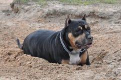 terrier staffordshire собаки Стоковое Изображение RF