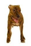 terrier staffordshire собаки Стоковое фото RF