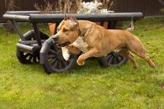 terrier staffordshire Стоковое фото RF