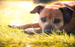 Terrier Staffordshire-Bull Stockfoto