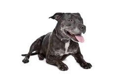 Terrier Staffordshire-Bull Lizenzfreie Stockbilder