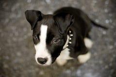 Terrier Staffordshire-Bull Stockfotografie