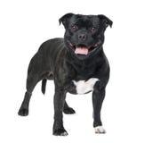 Terrier Staffordshire-Bull () stockfotografie