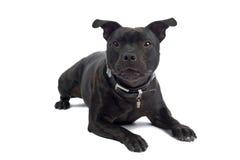 Terrier Staffordshire-Bull lizenzfreies stockbild