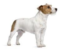 Terrier, Stellung und oben schauen Jack Russell lizenzfreie stockbilder