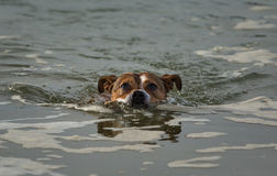 Terrier swimming. Royalty Free Stock Photography