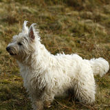 Terrier Temptations Royalty Free Stock Photo