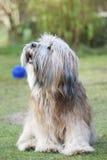 Terrier tibetano Foto de Stock Royalty Free