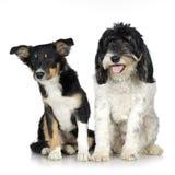 Terrier tibetano (3 anos) e Collie de beira do filhote de cachorro fotografia de stock