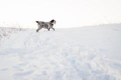 Terrier tibetano Fotografie Stock Libere da Diritti