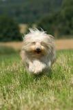 Terrier tibetano Imagens de Stock