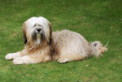 Terrier tibetano Immagine Stock