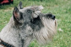 Terrier with trimming. Close up of dog terrier with trimming in park Royalty Free Stock Image