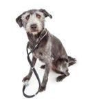 Terrier Veterinary Dog Wearing Stethoscope Stock Photo