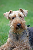 terrier welsh Royaltyfria Foton