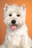 Terrier westy de Flaffy Fotos de archivo libres de regalías