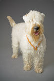 Terrier Wheaten Fotografia Stock