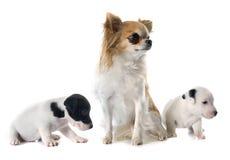 Terrier y chihuahua de Russel del enchufe de los perritos Foto de archivo